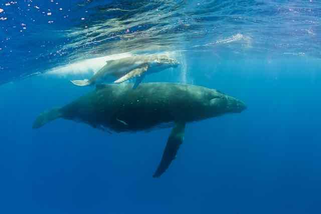 https://tahititourisme.it/wp-content/uploads/2019/04/Bora-Bora-Humpback-Whales.jpeg