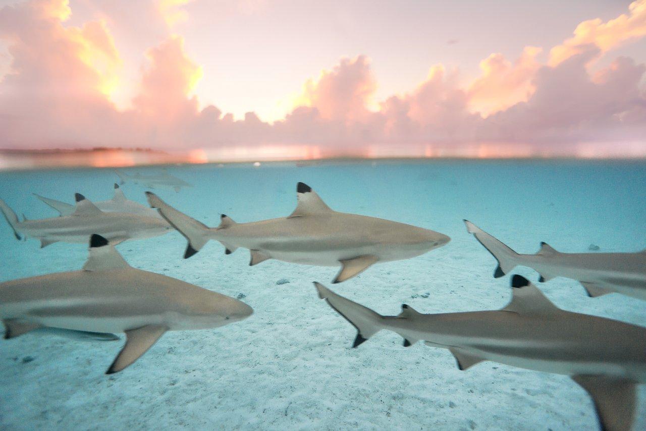 https://tahititourisme.it/wp-content/uploads/2020/06/blacktip-reef-shark-sunset.jpg