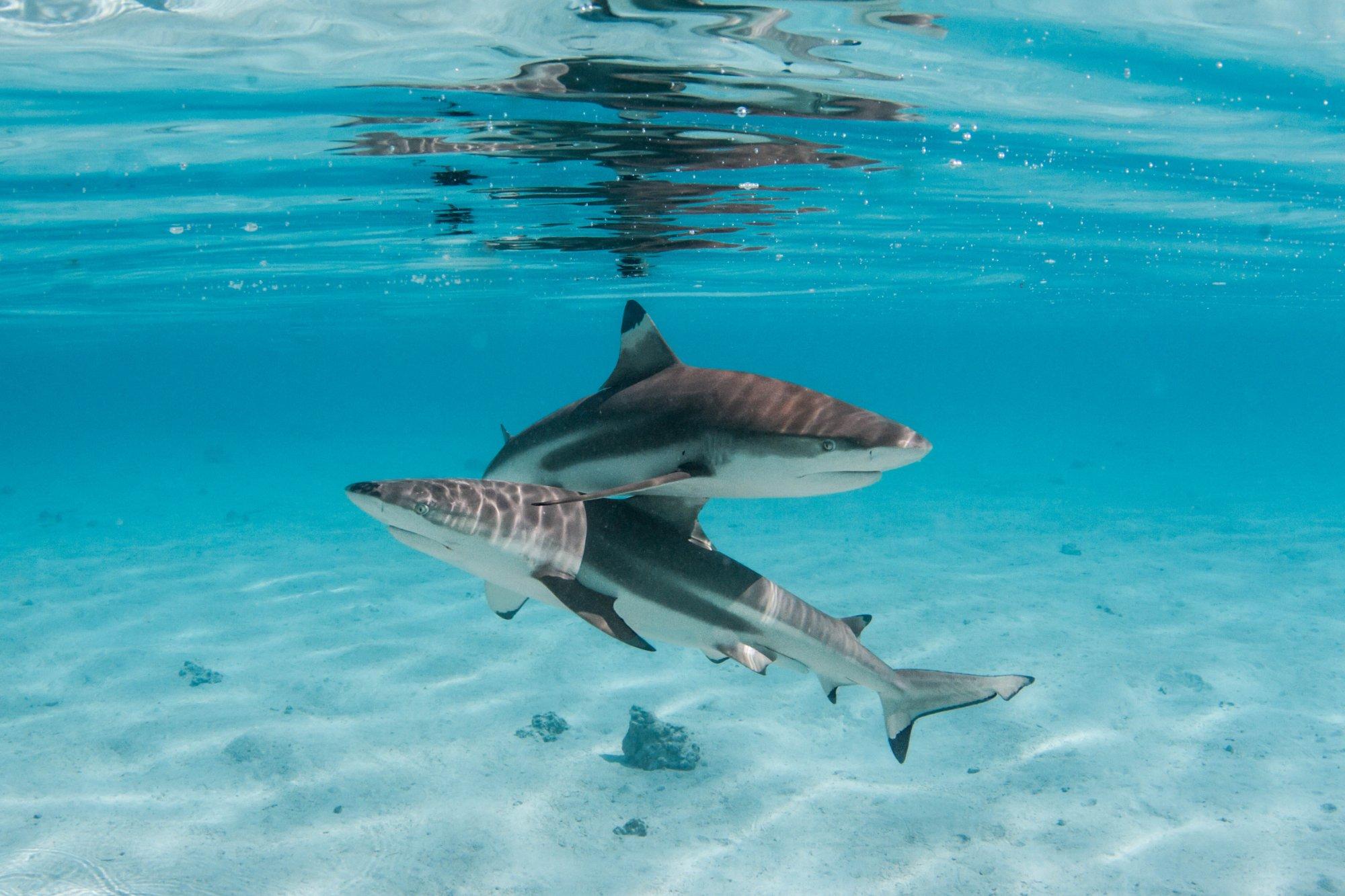 https://tahititourisme.it/wp-content/uploads/2020/06/deux-magnifiques-requins.jpg